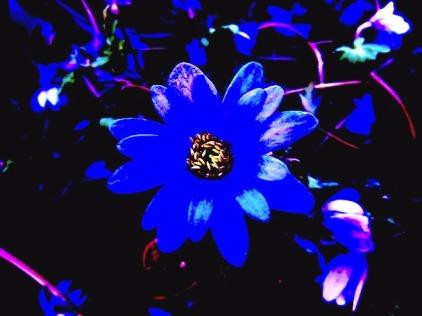 plants_flower_blue_anemone
