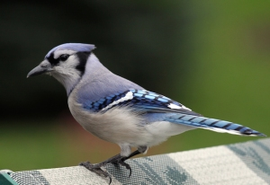 blue_jay_looking_for_a_hand_out_513853-2 copy