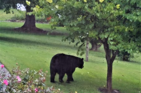 Black bear in our yard in Asheville, NC