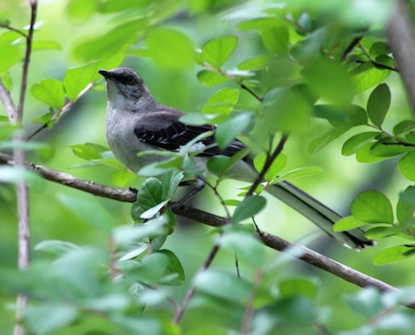 Tennessee Mockingbird, Pat Hope copy