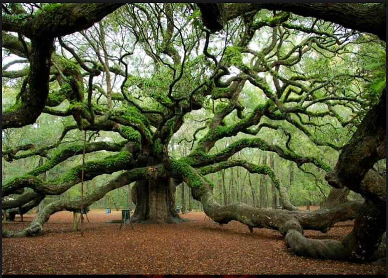 Nick Della Volpe--ndellavolpe@bellsouth.net. 400 yearold Angel Oak, in a park in Charleston South Carolina.