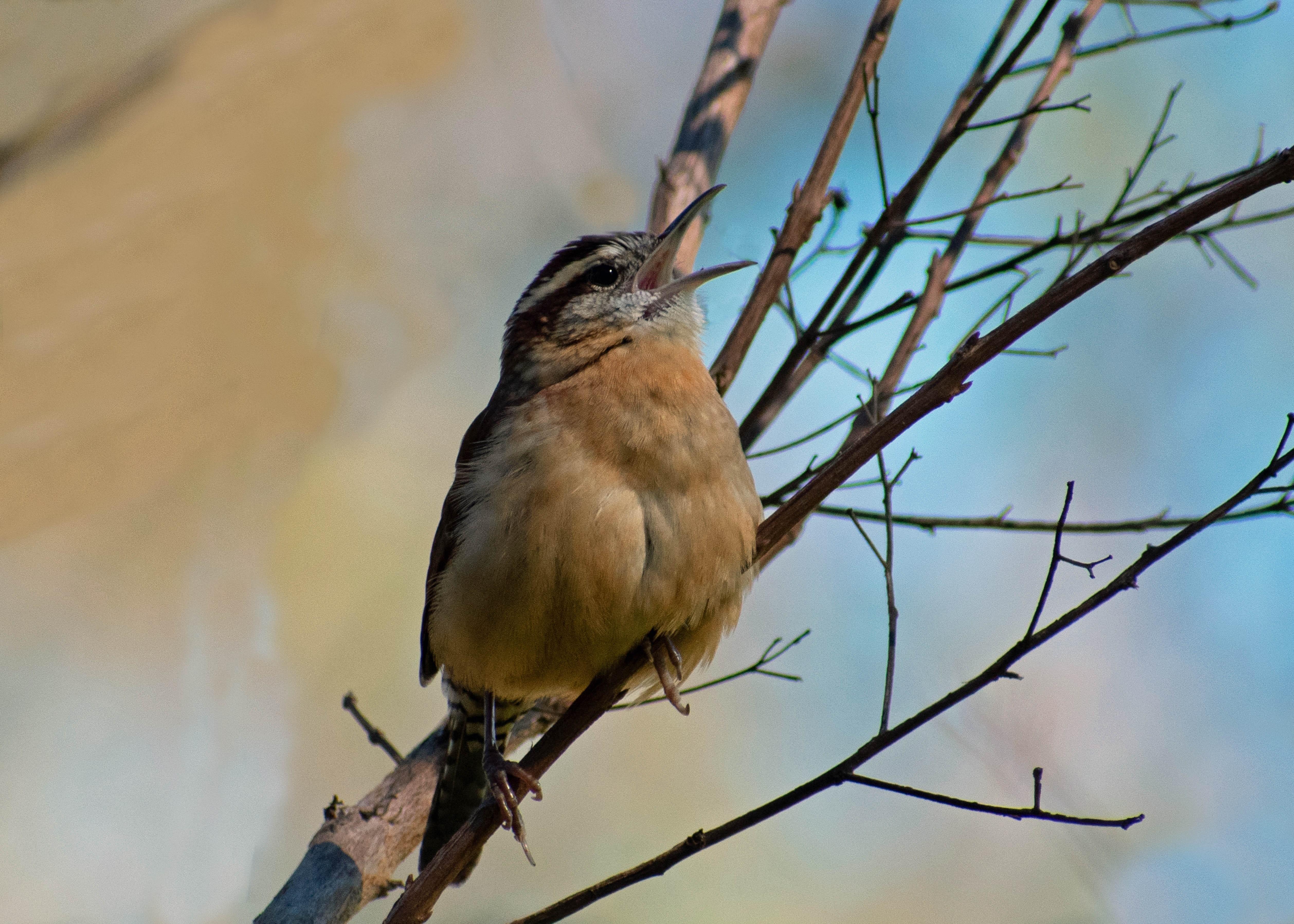 by Phylis Castelli, Singing wren
